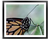 Monarch Butterfly, Framed Mounted Print