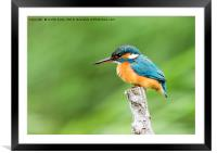 Female Kingfisher Perching , Framed Mounted Print