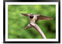 Swallow With Nesting Material, Framed Mounted Print