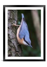 Nuthatch 1, Framed Mounted Print