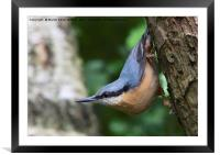 Nuthatch 2, Framed Mounted Print