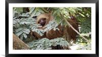 Costa Rica Sloth, Framed Mounted Print