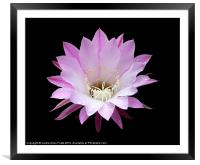 Pink Cactus in the Rain, Framed Mounted Print