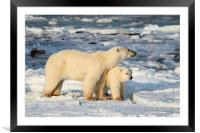 Standing Guard Over Her Cub, Churchill, Canada, Framed Mounted Print