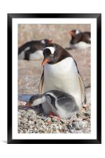 Gentoo Penguin With Chick, Framed Mounted Print