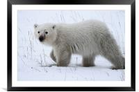 Polar Bear Cub, Framed Mounted Print