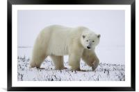 Large Prowling Polar Bear, Framed Mounted Print