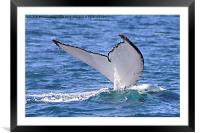 Humpback Whale Tail Flukes, Framed Mounted Print