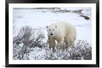 Polar Bear, Churchill, Canada, Framed Mounted Print