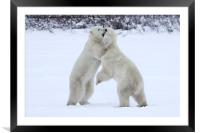 Polar Bear Skirmish , Framed Mounted Print