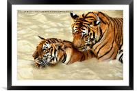 Tigers at Play, Framed Mounted Print