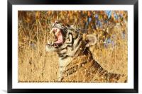 Yawn: Sub-Adult Male Bengal Tiger, Framed Mounted Print