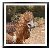 Black-breasted Buzzard About to Attack an Egg, Framed Mounted Print