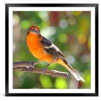 Baltimore Oriole, Framed Mounted Print