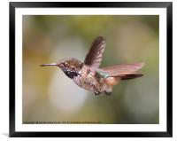 Scintillant Hummingbird, Framed Mounted Print