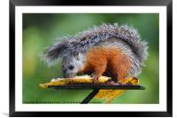 Variegated Squirrel, Framed Mounted Print