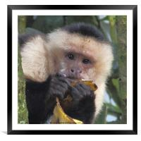 White-faced Capuchin Portrait, Framed Mounted Print