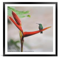 Scaly-breasted Hummingbird, Framed Mounted Print