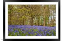 Bluebell Woods Greys Court Oxfordshire , Framed Mounted Print