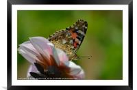 Butterfly on flower, Framed Mounted Print