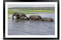 Elephants Crossing Chobe River , Framed Mounted Print