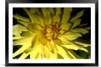 Yellow Dahlia in Greenwich Park   , Framed Mounted Print