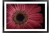 Dew on a Gerbera Daisy, Framed Mounted Print