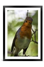 Inquisitive Robin, Framed Mounted Print