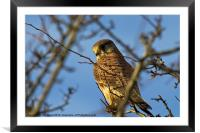 Kestrel in the wild (Falco tinnulculus), Framed Mounted Print