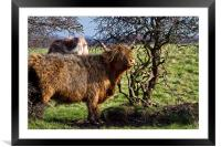 Highland cattle and a gnarled tree, Framed Mounted Print