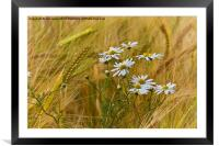 Todays flower, tomorrows flour, Framed Mounted Print