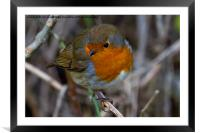 Fluffed up Robin, Framed Mounted Print