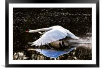 Swan reflection, Framed Mounted Print