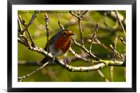 Robin red breast, Framed Mounted Print