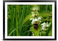 Bee on Nettle flowers; two stingers together, Framed Mounted Print