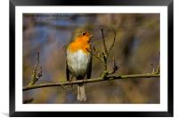 Robin branching out!, Framed Mounted Print