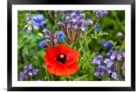 A single poppy among wild flowers, Framed Mounted Print