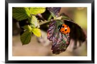 Ladybird welcoming in Spring., Framed Mounted Print