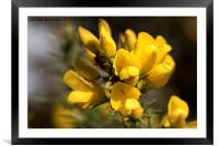Raindrop on Gorse Flowers., Framed Mounted Print