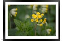 Springtime wildflowers-Cowslips, Framed Mounted Print