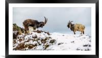 Welsh Mountain Goats, Framed Mounted Print