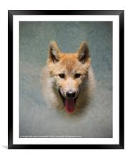 Wolf pup, Framed Mounted Print
