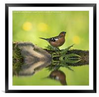 Singing Chaffinch, Framed Mounted Print