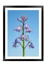 Bluebell Stem Close Up, Framed Mounted Print