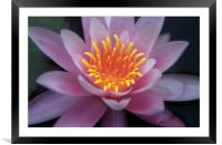 Water Lilly flower, Framed Mounted Print