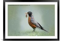 American Robin with Worms, Framed Mounted Print