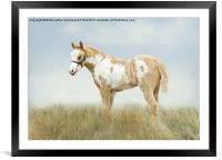 Pinto Filly, Framed Mounted Print