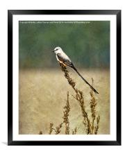 Scissor-tailed Flycatcher, Framed Mounted Print