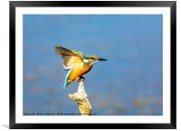 The Kingfisher, Framed Mounted Print