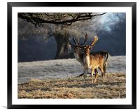 Fallow Deer Stags, Framed Mounted Print